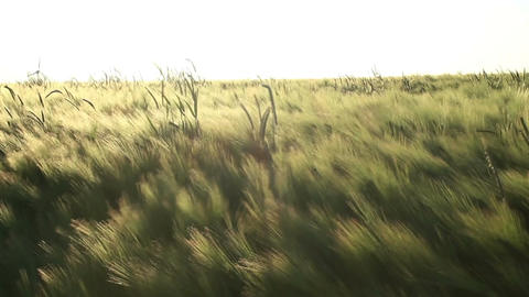 Barley In The Breeze stock footage
