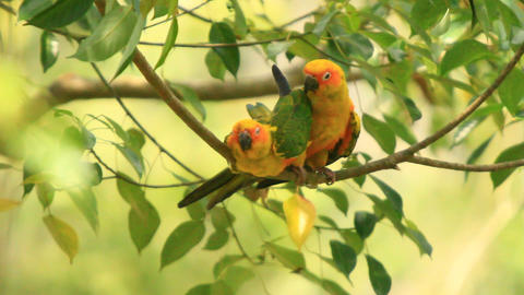 Green Yellow Lovebirds Intimate Affairs stock footage