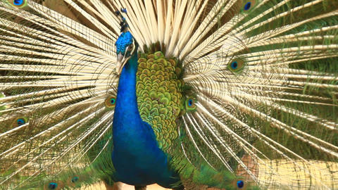 Peacock Displays Unique Tail Feathers stock footage