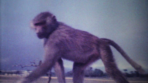 Monkeys Attack Car On Game Reserve 1979 Vintage 8mm film Footage