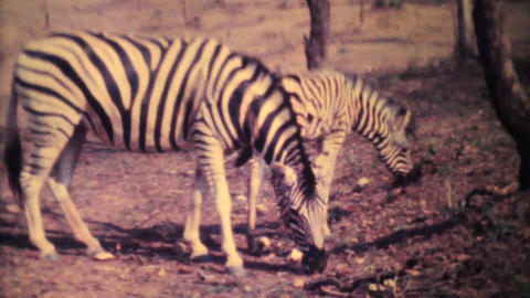 Zebras Roaming Through Game Park 1979 Vintage 8mm film Footage