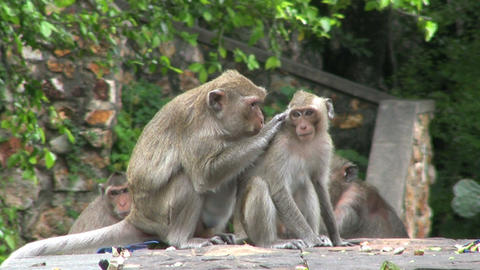 Young Monkey Being Groomed Footage