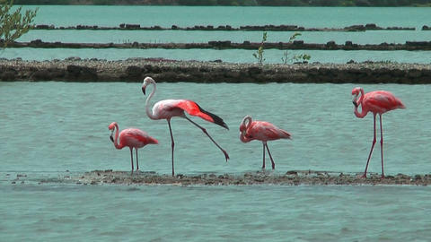 American Flamingos At Salt Flat In Curacao stock footage