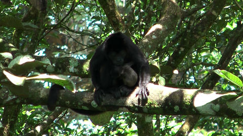 howler monkey with baby Footage