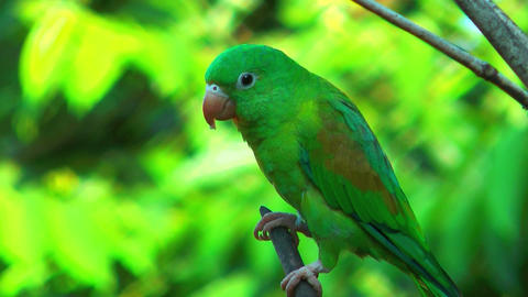 Costa Rica Parrot Close Up Sitting On A Branch stock footage