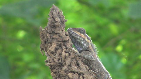 Lizard Eating Bug stock footage