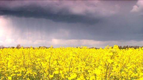 Biofuel Crop With Storm Clouds stock footage