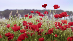 Red Poppies In A Field stock footage