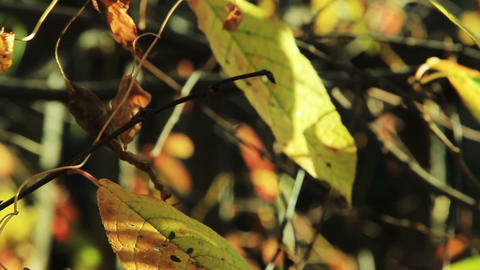 Cherry Tree Leaves In Autumn Swaying Wind Tilt Sho stock footage