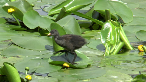 Young Common Moorhen (gallinula chloropus) Footage