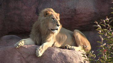 Toronto Zoo Lion Lindy Sitting On Rock stock footage