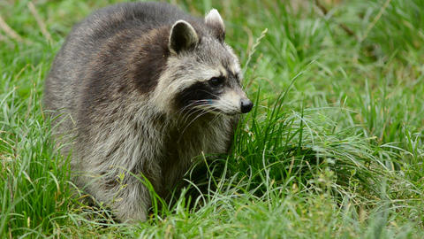 Raccoon Walking Through A Green Meadow Towards The stock footage