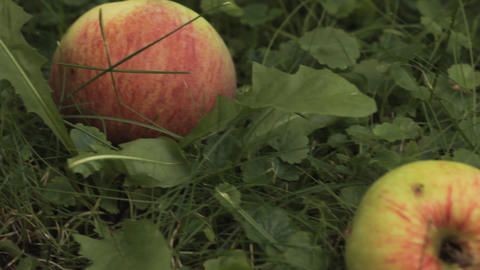 Apples in Garden on a Grass Footage