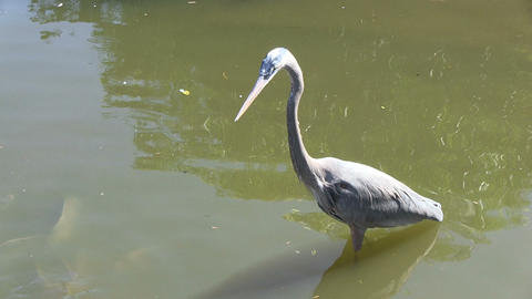 Blue Heron Watches Fishes stock footage