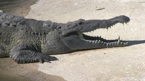 Alligator In Captivity stock footage