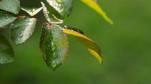 Dew Drops On The Leaves Of Roses. RAW Video 1 stock footage