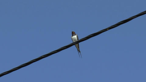 Swallow Sitting On A Wire stock footage