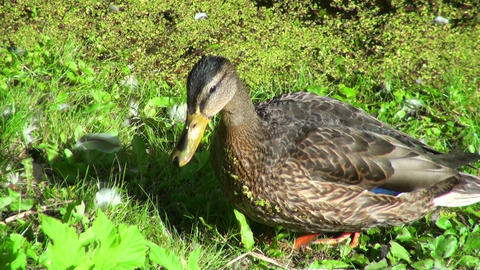 Duck Is Walking Through The Grass stock footage