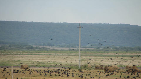 A flock of crows in the field Footage