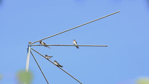 Family Of Martlets Sitting On The TV Antenna stock footage