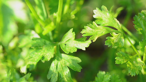 Parsley In The Field. Motorized Dolly Shot stock footage