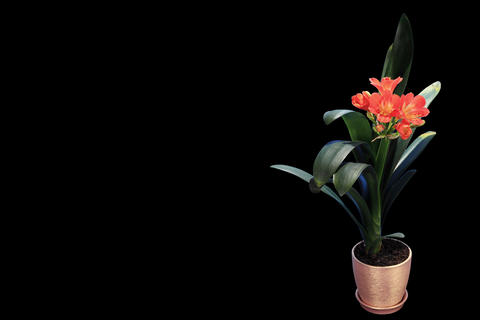 4K. Growth Of Clivia Flower Buds ALPHA Matte, FULL stock footage