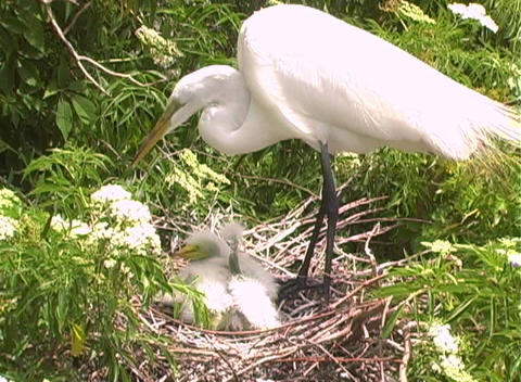 Florida Egrets-1 Footage