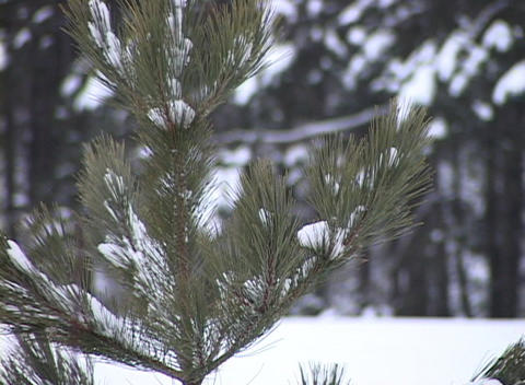 Snow-covered Young Pine Tree, Close-up Footage