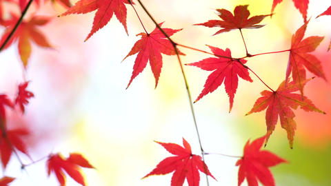Red leaves_ Autumn_Japan Footage