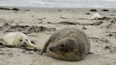 grey seal mother with pup 11236 Footage