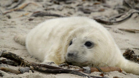 sweet little grey seal pup 11237 Footage