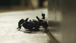 Scorpion Approaching stock footage