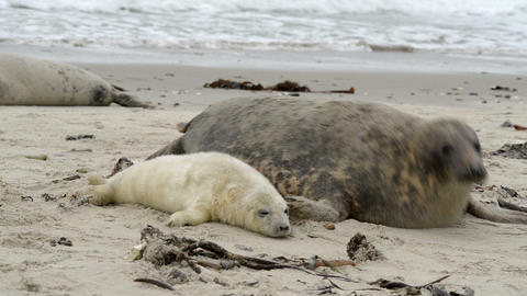 female grey seal wth pup close to cam 11258 Footage