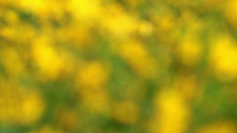 Field Of Blooming Sunflowers - No Focus stock footage