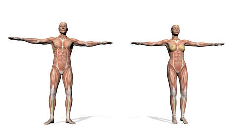 Male and female muscles - 3D render Animation