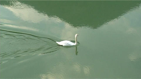 ntsc swan in the river Footage