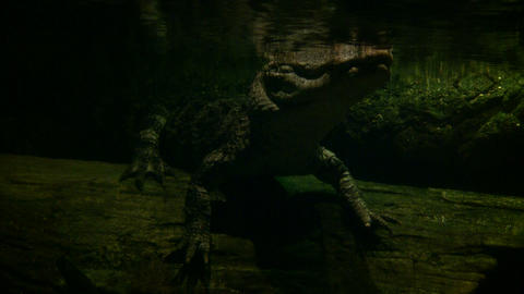 Underwater Shot Of A Young Alligator Floating In The Water stock footage