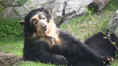 Spectacled Bear Is Lazily Laying Around stock footage