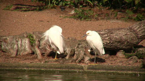 Cattle Egret birds are resting by the sunny shoreline Footage