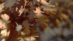 Close Up Dolly Shot On Oak Leaves stock footage