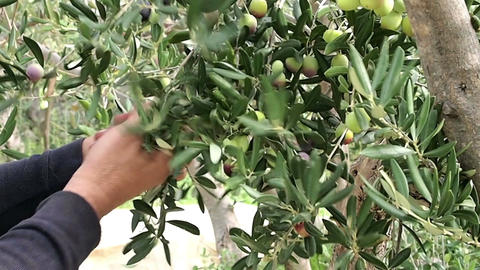 Man Picking Olives stock footage