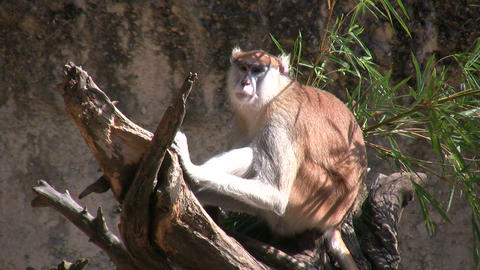 Patas Monkey is resting on branches amidst a sunny day Footage