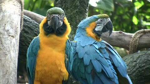 Pair of Blue and Gold Macaw parrots hang out together Footage