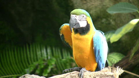 Blue and Gold Macaw parrot is resting on a branch Footage