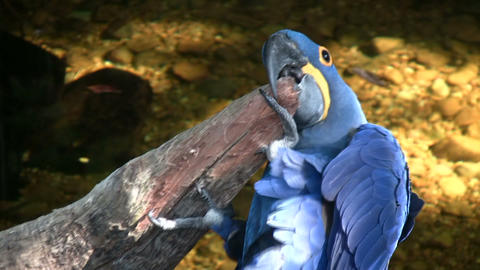 Hyacinth Macaw parrot is resting on a branch Footage