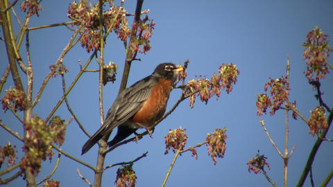 Robin Sits In Tree, Calling Out To Friends (High Definition) stock footage