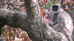 Monkey Mother And Baby In Trees stock footage