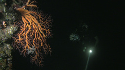 Soft Coral With Diver At Night stock footage