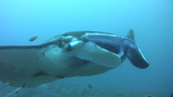 Giant Manta Ray (Manta Birostris) Close Up stock footage