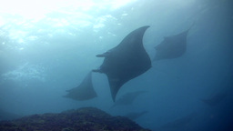 Bunch Of Giant Manta Ray (Manta Birostris) Swimmin stock footage
